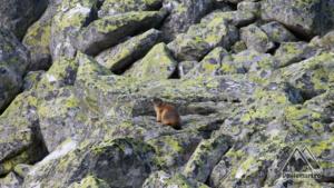 Marmota în Căldarea Berbecilor, Retezat