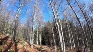 Trecere spre conifere