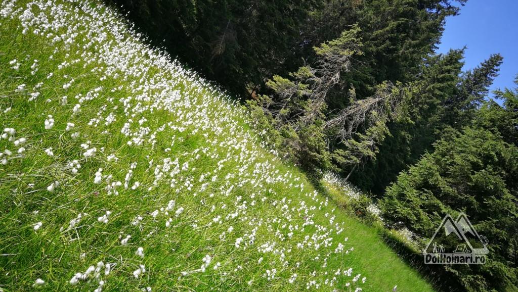 Flori spre șaua Huluzu